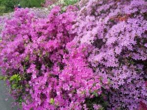 When the Azaleas are in bloom it is pink flowery bliss